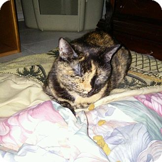Domestic Shorthair Cat for adoption in Seminole, Florida - Snickers