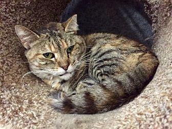 Domestic Shorthair Cat for adoption in Wilmington, Delaware - Neptune