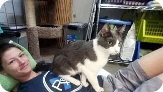 Domestic Shorthair Cat for adoption in Las Vegas, Nevada - Yorick