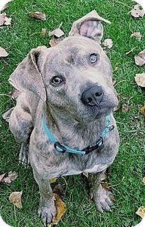Pit Bull Terrier Mix Dog for adoption in Toledo, Ohio - Loki
