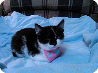 Domestic Shorthair Kitten for adoption in Lancaster, California - Buttercup