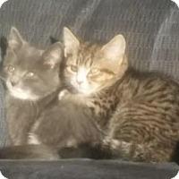 Adopt A Pet :: Brother Kittens - Kirkwood, DE