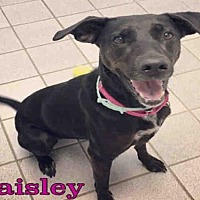 Adopt A Pet :: PAISLEY - Canfield, OH