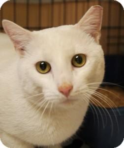 Domestic Shorthair Cat for adoption in Medford, Massachusetts - Liberace