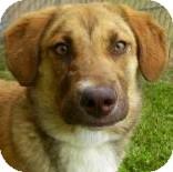 Retriever (Unknown Type)/Golden Retriever Mix Dog for adoption in Lincolnton, North Carolina - Trooper