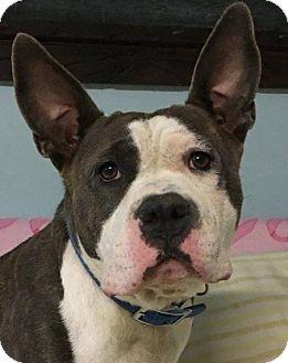 Pit Bull Terrier Dog for adoption in Kansas City, Missouri - Jennet