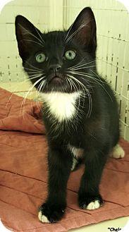 Domestic Shorthair Kitten for adoption in Key Largo, Florida - Chelsea