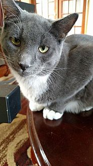 Domestic Shorthair Cat for adoption in Toms River, New Jersey - Hatter