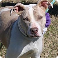Adopt A Pet :: Lilly - Pluckemin, NJ