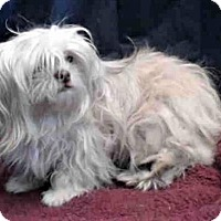 Adopt A Pet :: Lily - Encino, CA