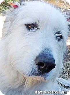 Great Pyrenees/Irish Wolfhound Mix Dog for adoption in Beacon, New York - Fannie in OK - new!