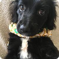 Adopt A Pet :: Bonnie II - Spring, TX