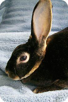 Rex Mix for adoption in Harrisburg, Pennsylvania - Cocoa