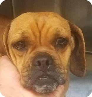 Pug/Beagle Mix Dog for adoption in Canoga Park, California - Willow the Puggle!