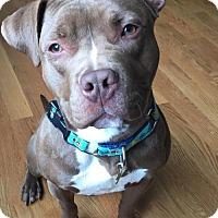 Adopt A Pet :: Chet - Framingham, MA