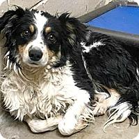 Adopt A Pet :: Rosey - Boulder, CO