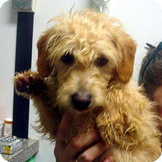 Poodle (Miniature)/Dachshund Mix Dog for adoption in Greencastle, North Carolina - Polar