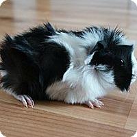 Adopt A Pet :: Leo - Brooklyn Park, MN