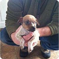Adopt A Pet :: Peanut - New Boston, NH