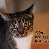 Domestic Shorthair Cat for adoption in Monrovia, California - Darling DIGIT