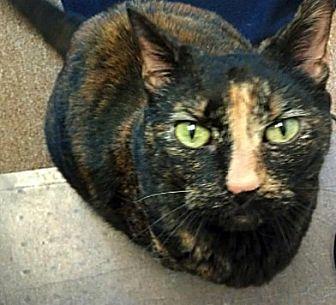 Domestic Shorthair Cat for adoption in Kingston, Washington - Zelda