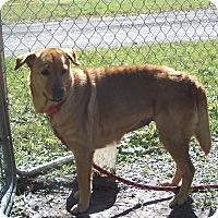 Adopt A Pet :: Piper - Odessa, FL