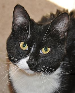 Domestic Shorthair Cat for adoption in Wagoner, Oklahoma - Gypsie