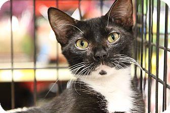 Domestic Shorthair Cat for adoption in Gainesville, Virginia - Tuxie