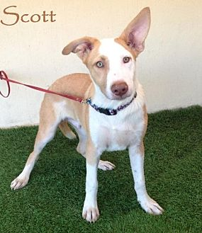 Labrador Retriever/Akita Mix Dog for adoption in San Diego, California - Scott