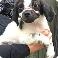 King Charles Spaniel/Pomeranian Mix Puppy for adoption in West Grove, Pennsylvania - Poppy
