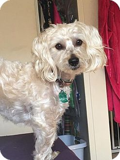 Yorkie, Yorkshire Terrier/Poodle (Miniature) Mix Dog for adoption in Tustin, California - Kirby