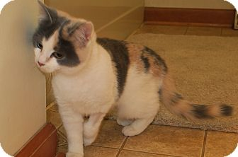 Domestic Shorthair Cat for adoption in Bedford, Virginia - Myrte