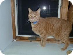 Domestic Shorthair Cat for adoption in Hamburg, New York - Manillow