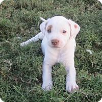 Adopt A Pet :: Nahla - Copperas Cove, TX