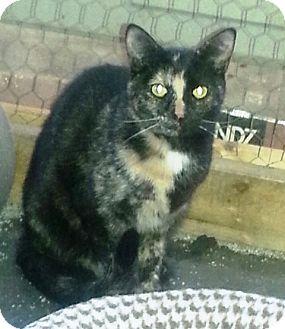 Domestic Mediumhair Kitten for adoption in Ravenna, Texas - Clementine