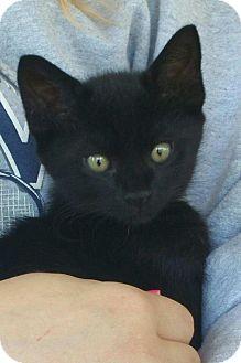 Domestic Shorthair Kitten for adoption in Marietta, Georgia - Salem