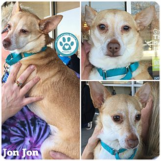 Chihuahua/Corgi Mix Dog for adoption in Kimberton, Pennsylvania - Jon Jon