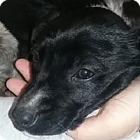 Adopt A Pet :: Colbalt - Ogden, UT