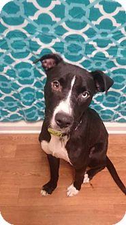 Labrador Retriever/Shepherd (Unknown Type) Mix Dog for adoption in Dickson, Tennessee - Valley