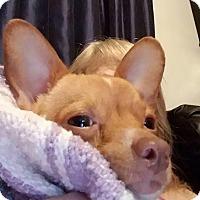 Adopt A Pet :: Tinkerbell - Wichita Falls, TX