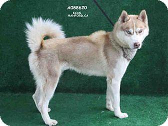 Husky Dog for adoption in Hanford, California - KAZUKI