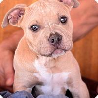Adopt A Pet :: Colt - tucson, AZ