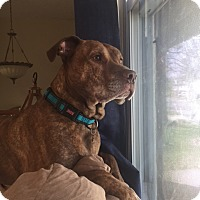 Adopt A Pet :: Dobby - O'Fallon, MO