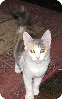 Domestic Mediumhair Cat for adoption in Edmond, Oklahoma - Jilly