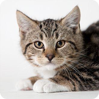 Domestic Shorthair Kitten for adoption in Rockaway, New Jersey - Kahlua