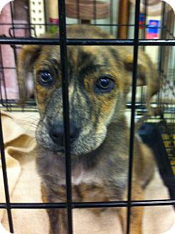 Hound (Unknown Type)/Shepherd (Unknown Type) Mix Puppy for adoption in Gainesville, Florida - Bailey
