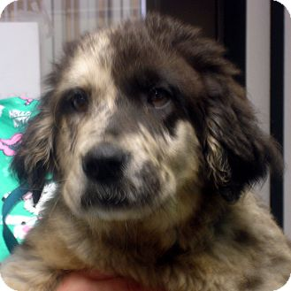 Australian Shepherd Mix Puppy for adoption in Greencastle, North Carolina - Mack