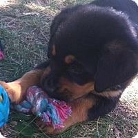 Adopt A Pet :: BELLA- PENDING ADOPTION!!! - Birmingham, MI