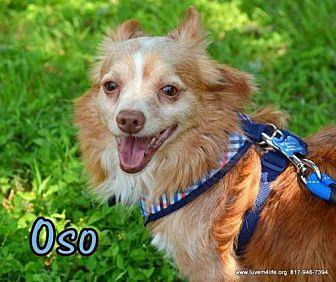 Pomeranian/Chihuahua Mix Dog for adoption in Rhome, Texas - Oso