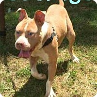 American Pit Bull Terrier Dog for adoption in Roanoke, Virginia - Courage